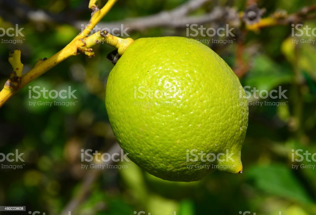 Lime fruit hanging on a branch of tree. stock photo