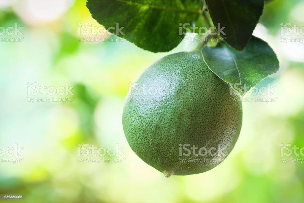 Lime fruit on lemon tree stock photo