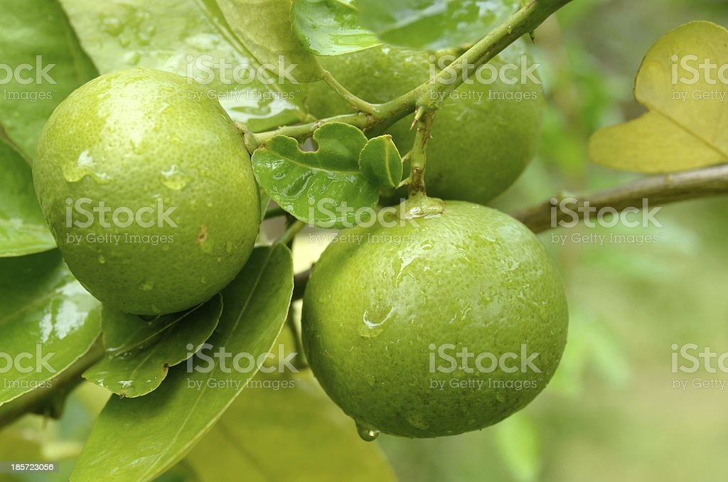 Lime fruits with  leafs stock photo
