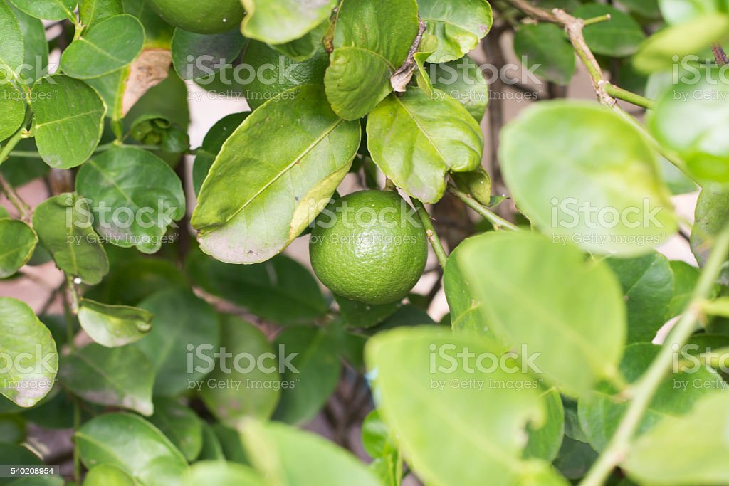 lime green on tree stock photo