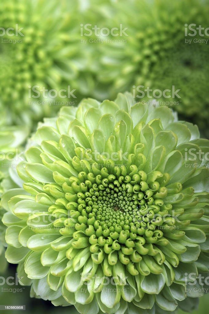 Lime Green Spray Mums royalty-free stock photo