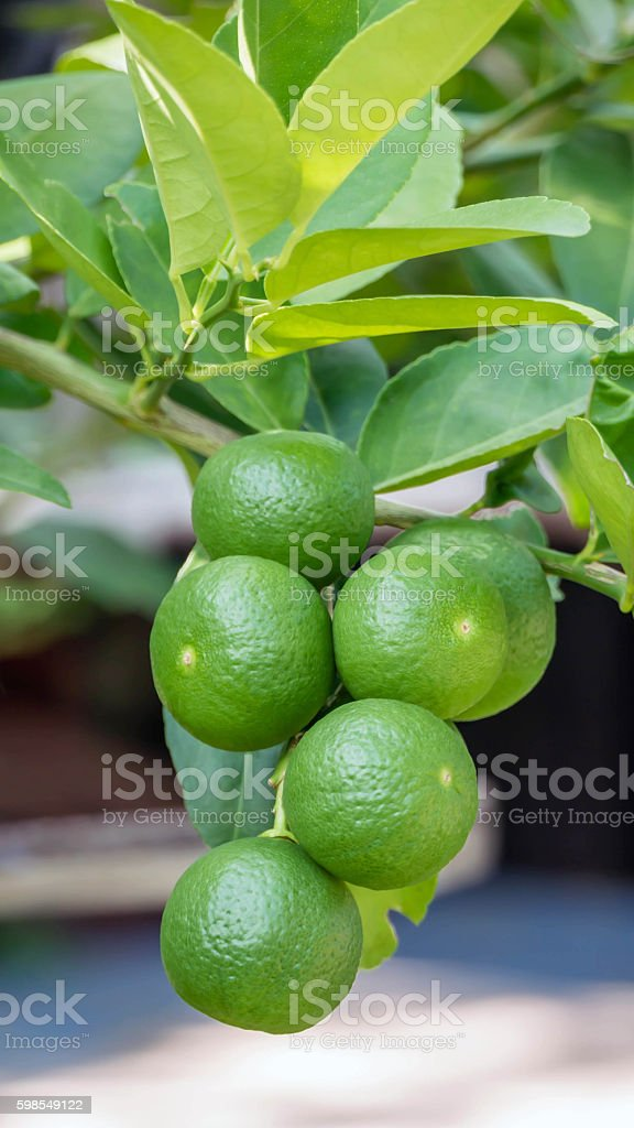 Lime green tree stock photo