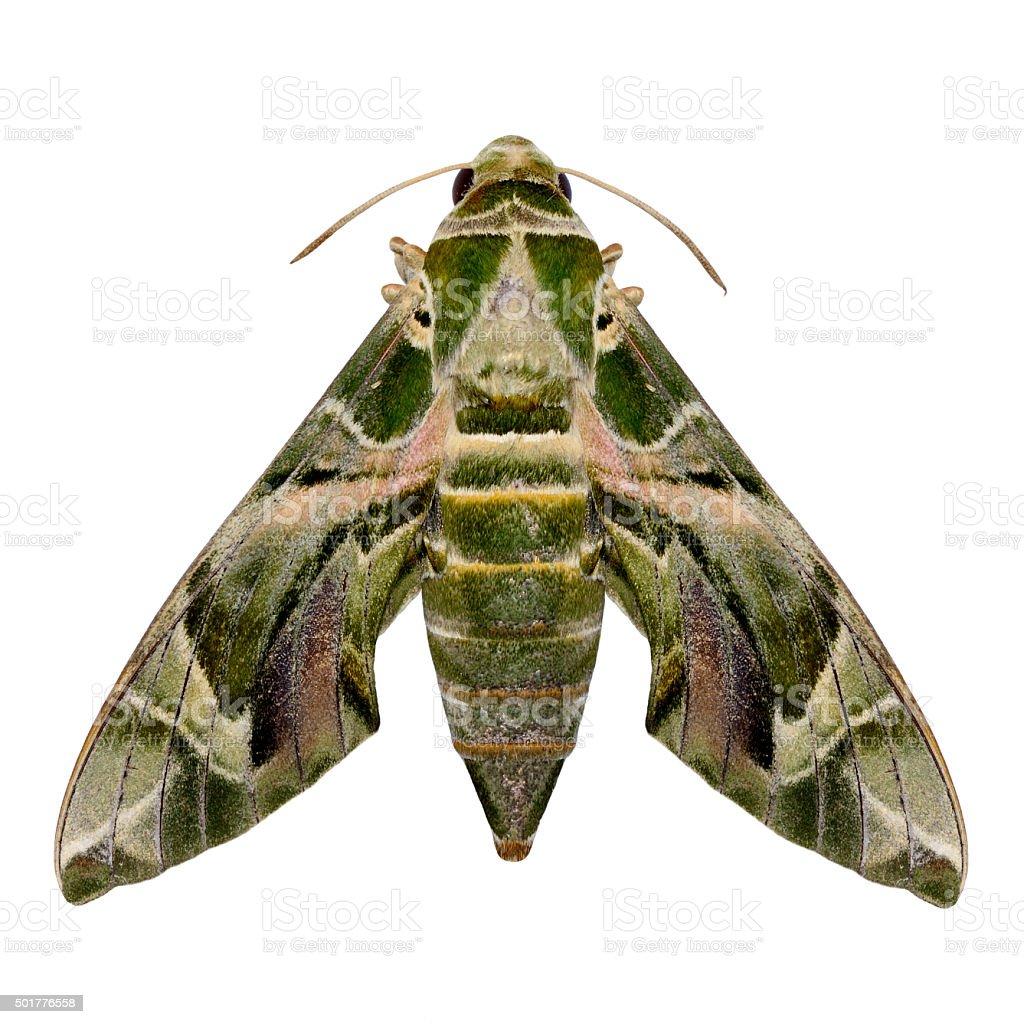 Lime Hawk Moth stock photo