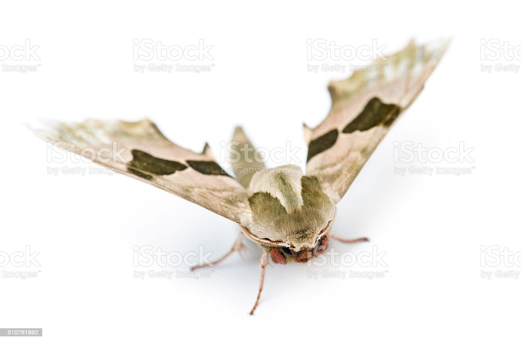 Lime Hawk-moth, Mimas tiliae, against white background stock photo