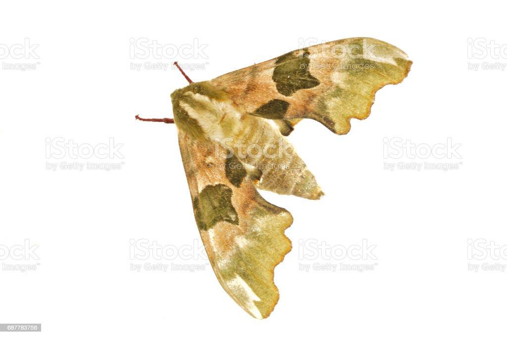 Lime hawk-moth (Mimas tiliae) on a white background stock photo