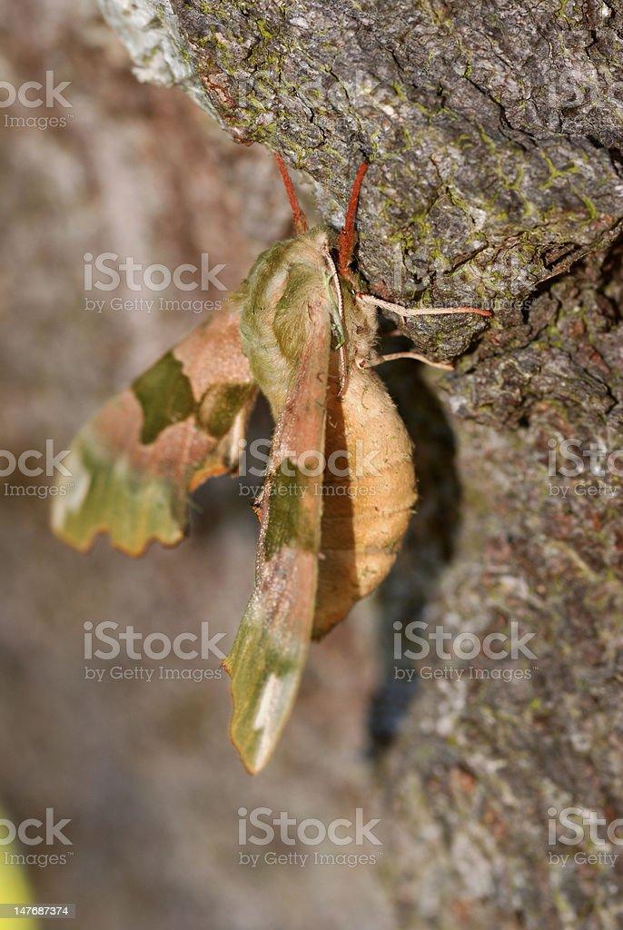 Lime Hawk-moth royalty-free stock photo