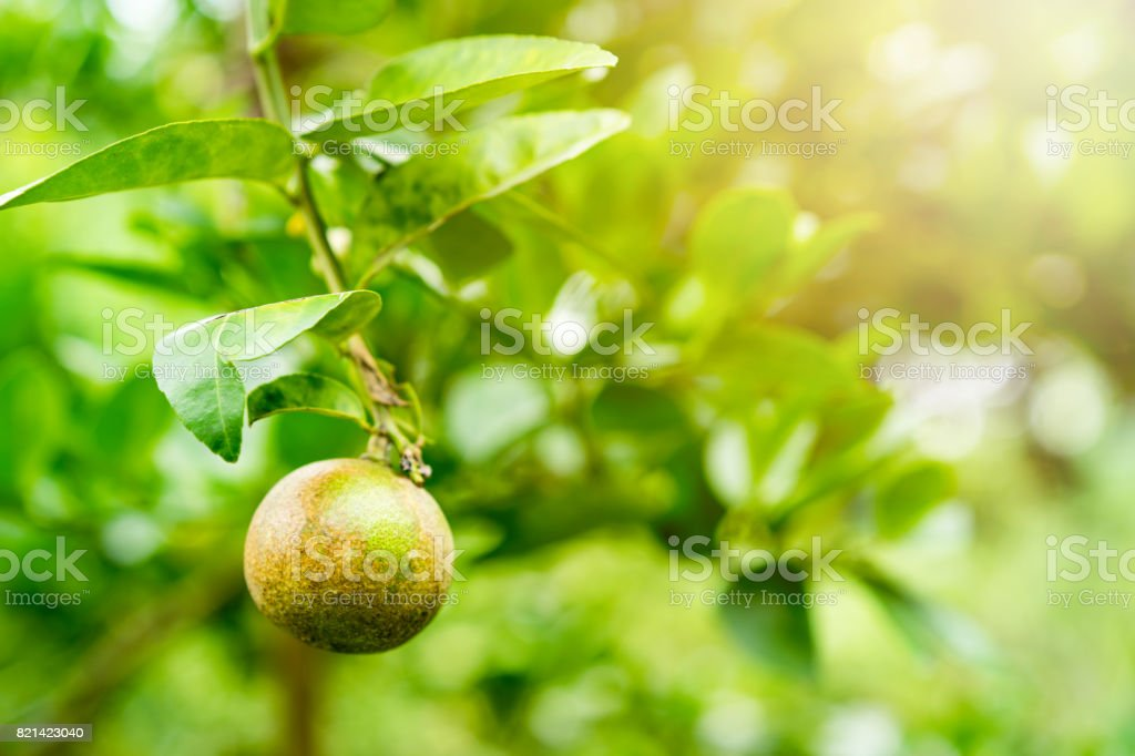 lime is a canker disease stock photo