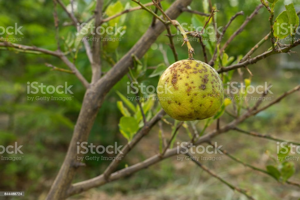 Lime is a disease of bacteria. Main problem of agriculture stock photo