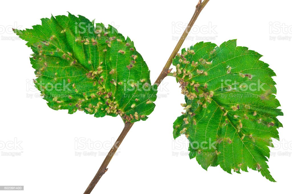 Lime nail gall - Eriophyes tiliae stock photo