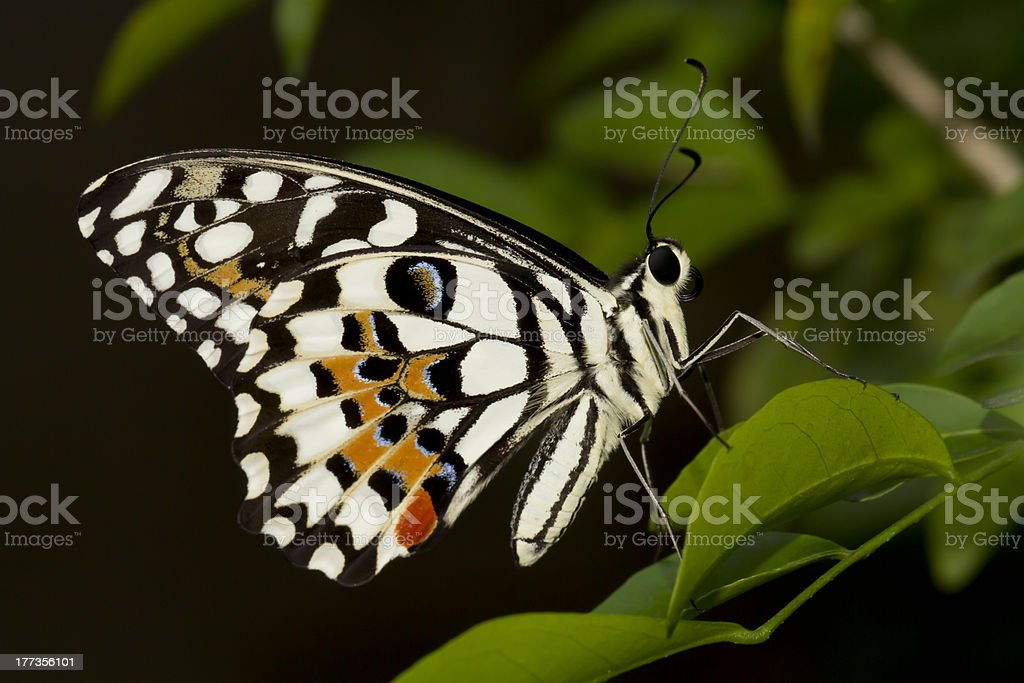 Lime Swallowtail Butterfly (Papilio Demolius) royalty-free stock photo