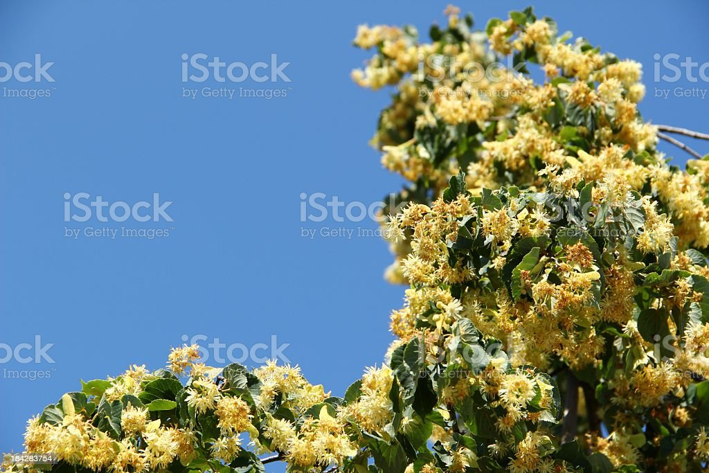 Lime tree in bloom -Blüten der Linde royalty-free stock photo