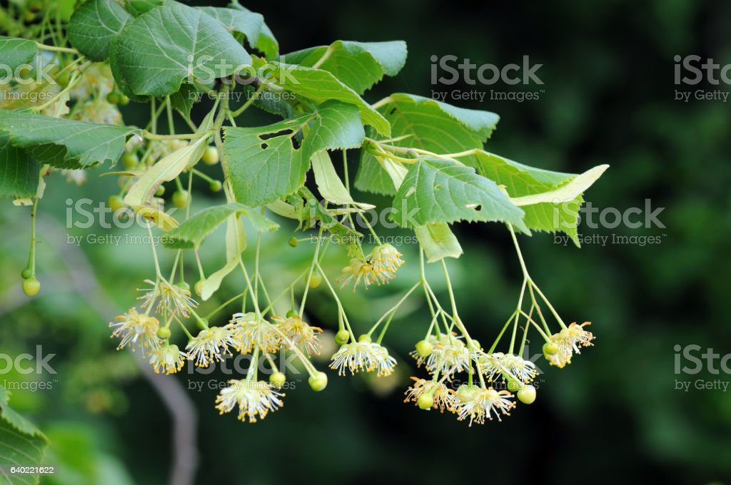 lime tree in blossom stock photo