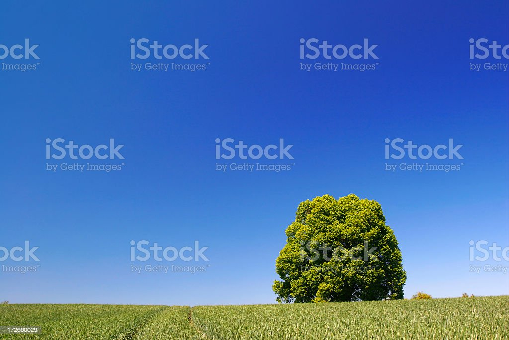 Lime Tree in Corn Field under a Blue Sky royalty-free stock photo