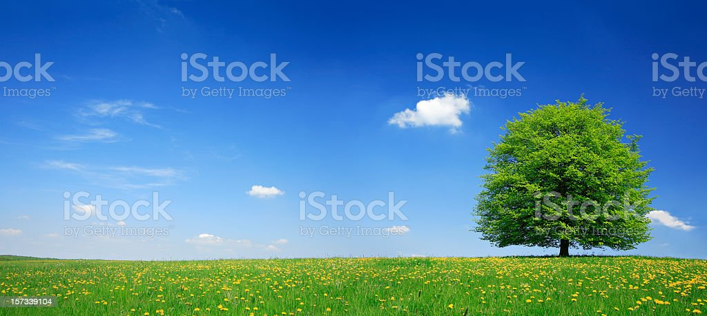 Lime Tree in Dandelion Meadow stock photo