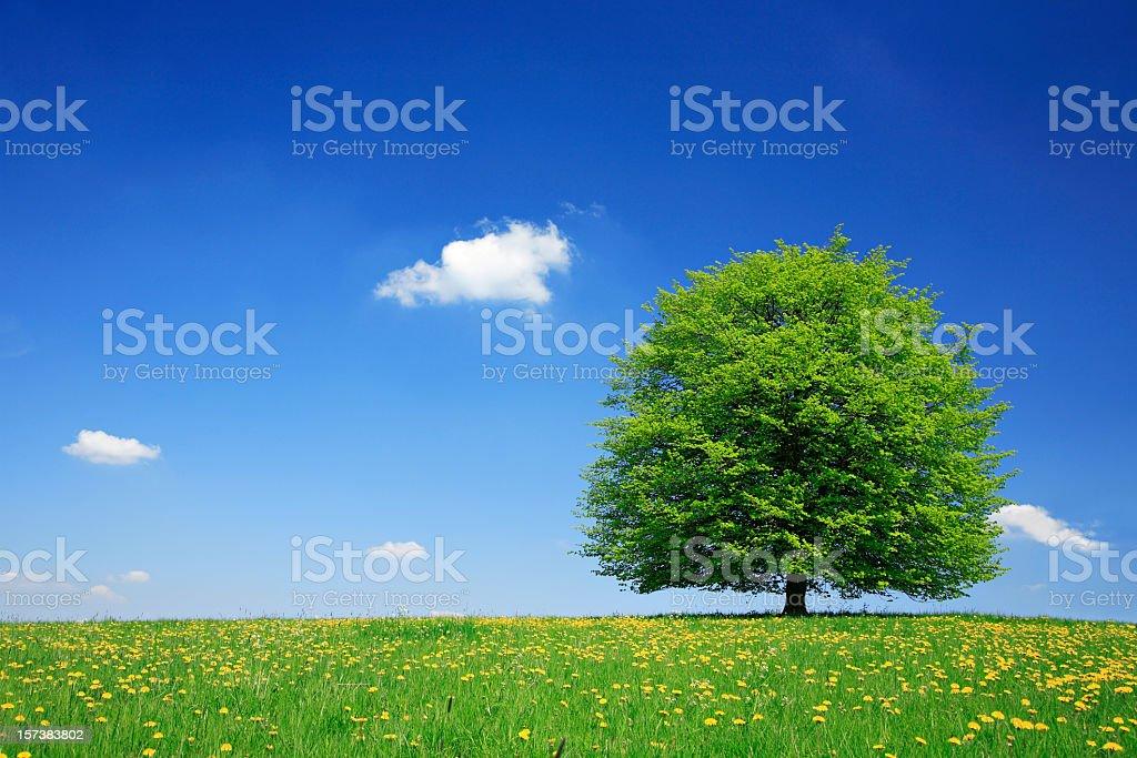 Lime Tree in Dandelion Meadow stock photo
