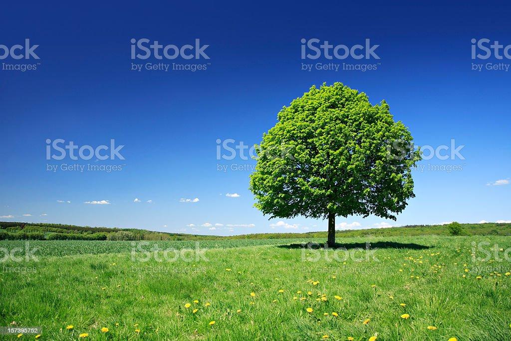 Lime Tree in Dandelion Meadow royalty-free stock photo