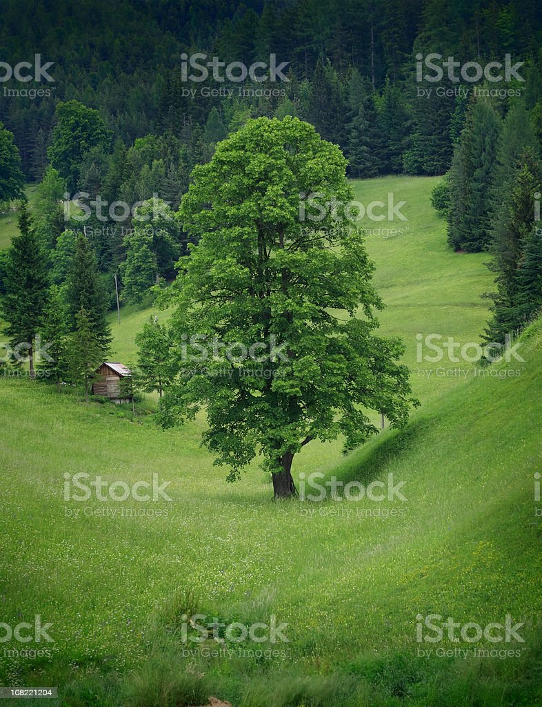 Lime Tree in Green Meadow Valley Near Forest royalty-free stock photo