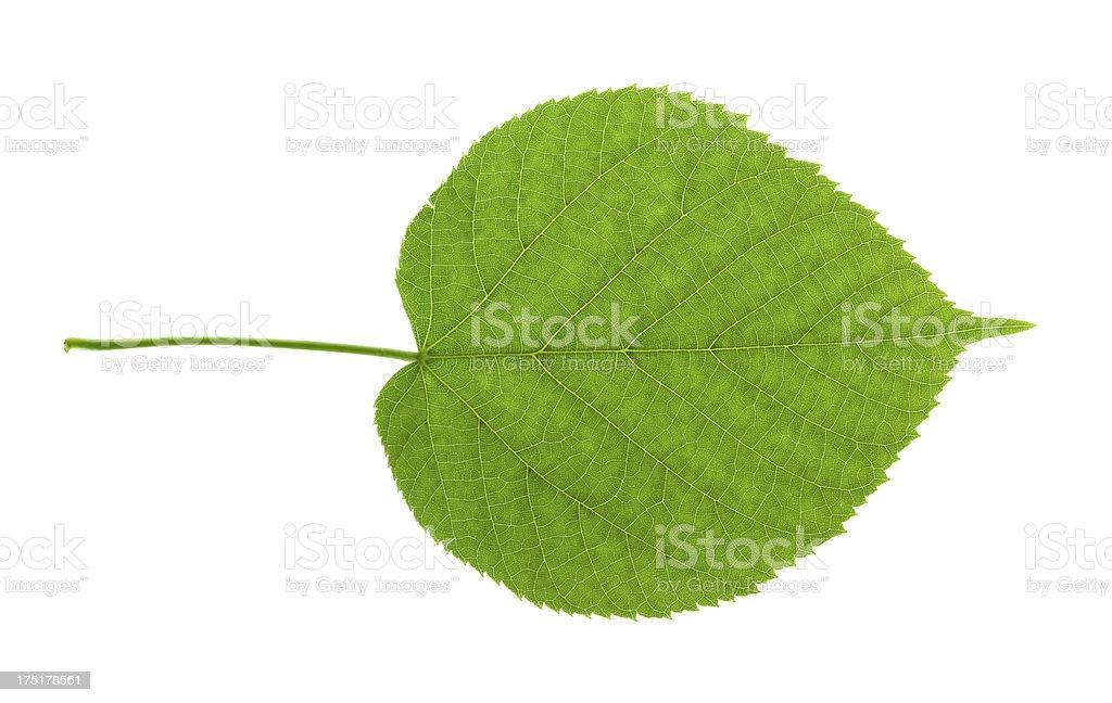 Lime tree leaf stock photo
