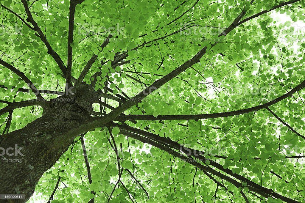 Lime Tree Low Angle View royalty-free stock photo