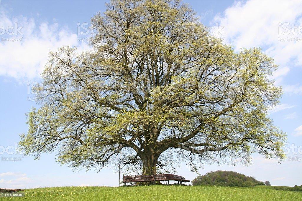 Lime Tree royalty-free stock photo