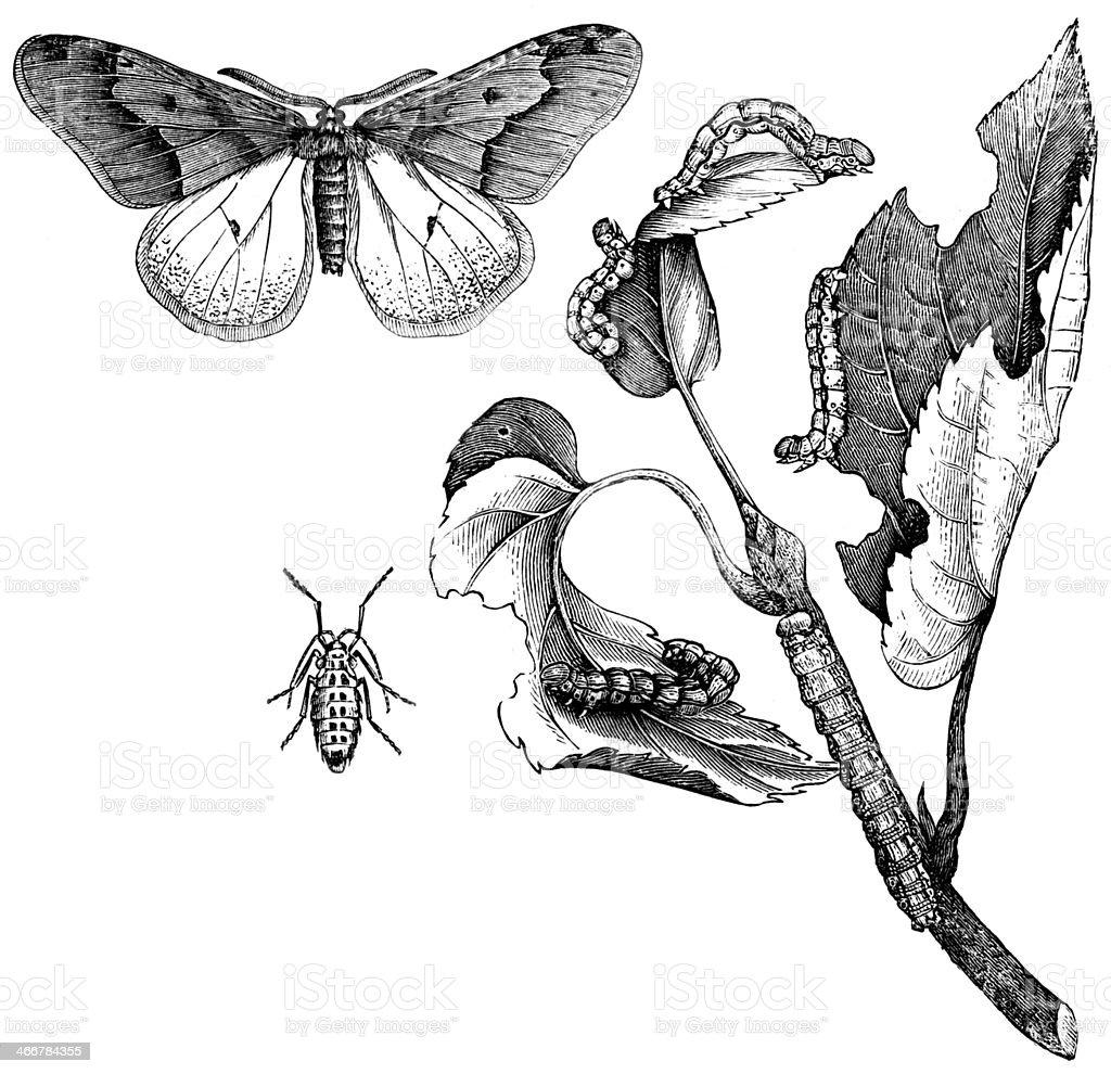 Lime Tree Winter Moth stock photo