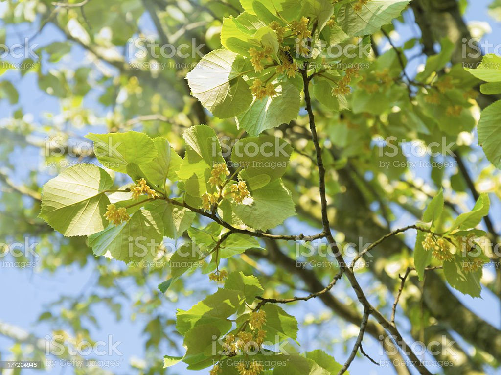Lime tree with blossom stock photo