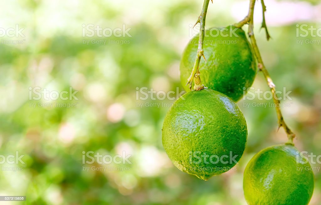 Lime tree with fruits, closeup stock photo