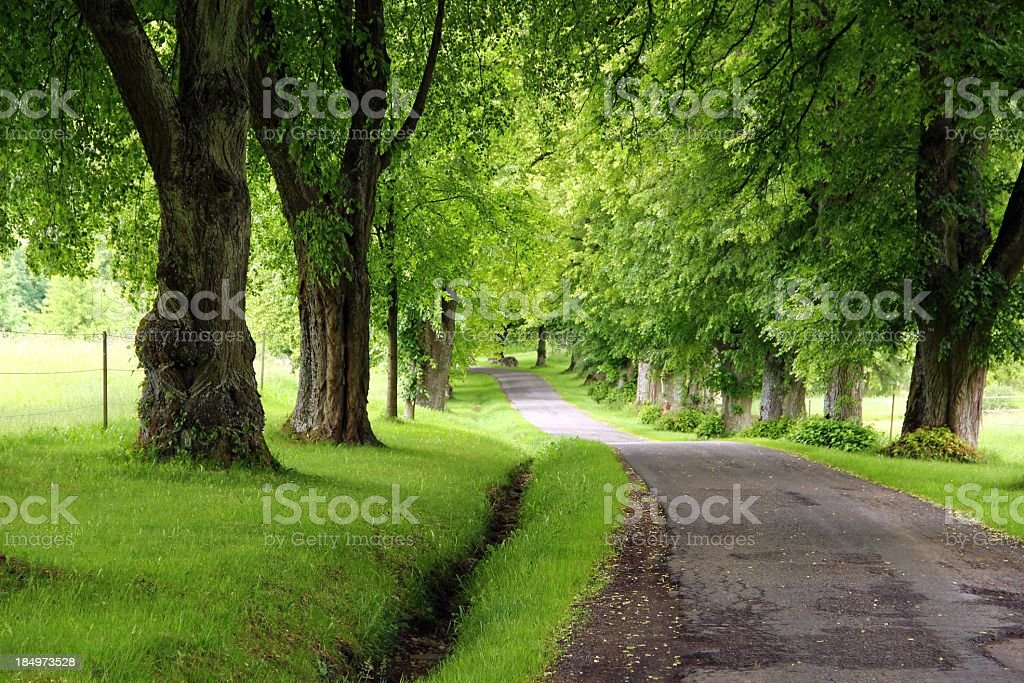 Lime trees avenue royalty-free stock photo