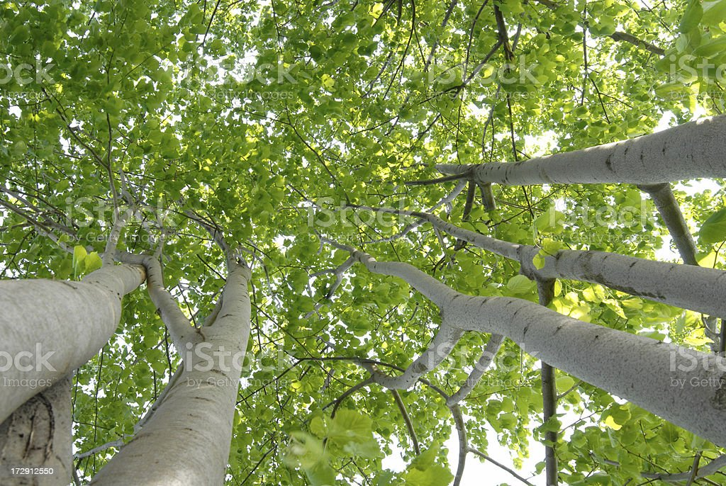 lime trees,look from below royalty-free stock photo
