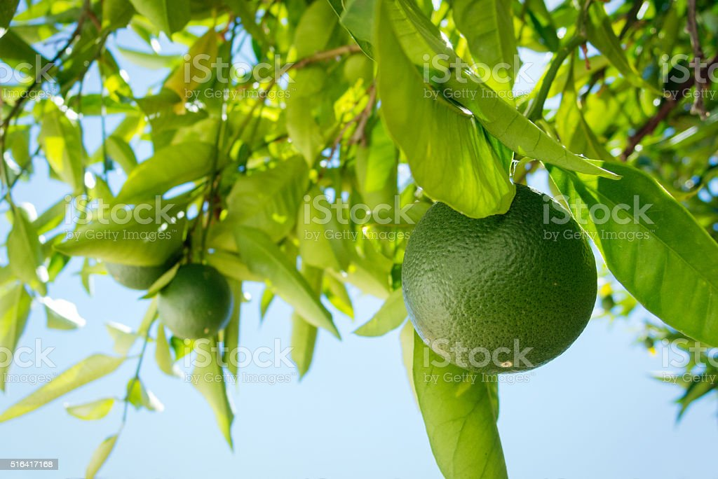 Limes on Tree stock photo