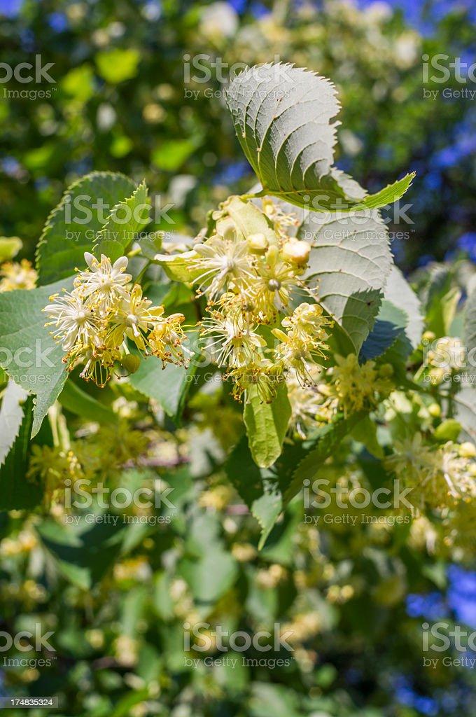 lime-tree blossom royalty-free stock photo