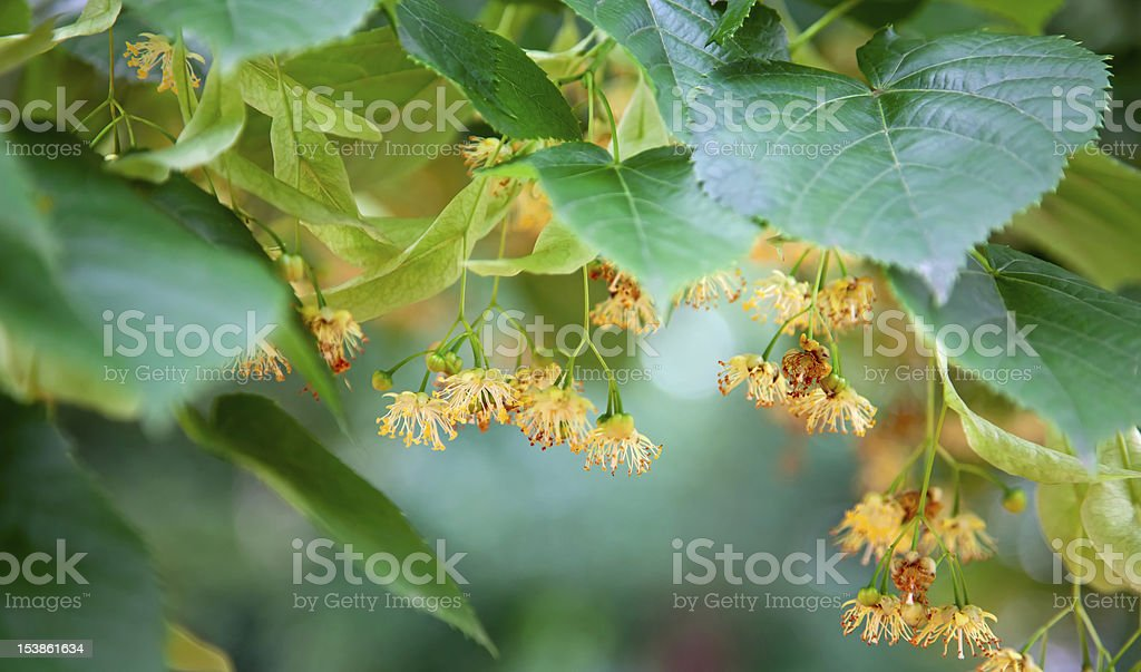 Lime-tree blossoms royalty-free stock photo