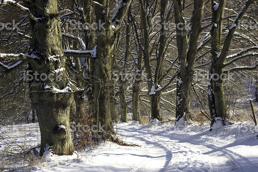 Limewood trees in winter stock photo