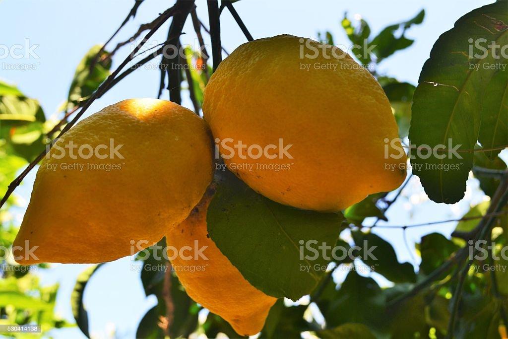 limoni stock photo