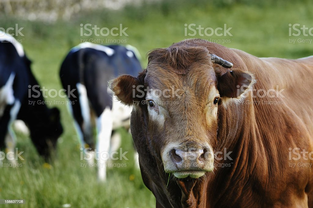 Limousin bull and cows in a field stock photo