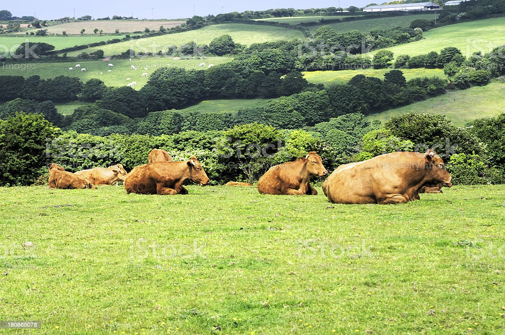Limousin Cattle In Cornish Field royalty-free stock photo