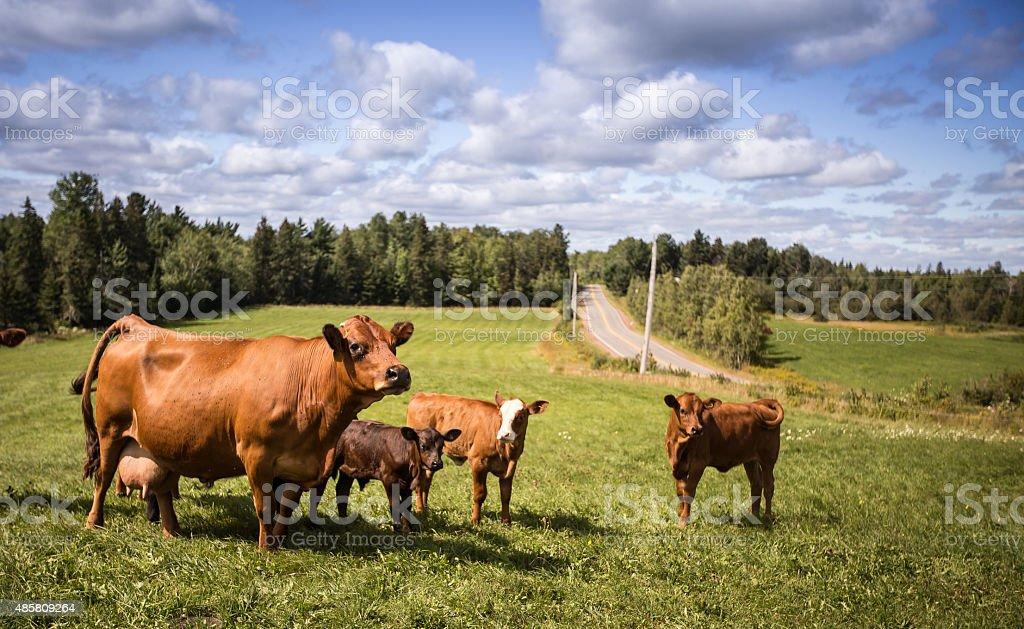 Limousin cattle stock photo