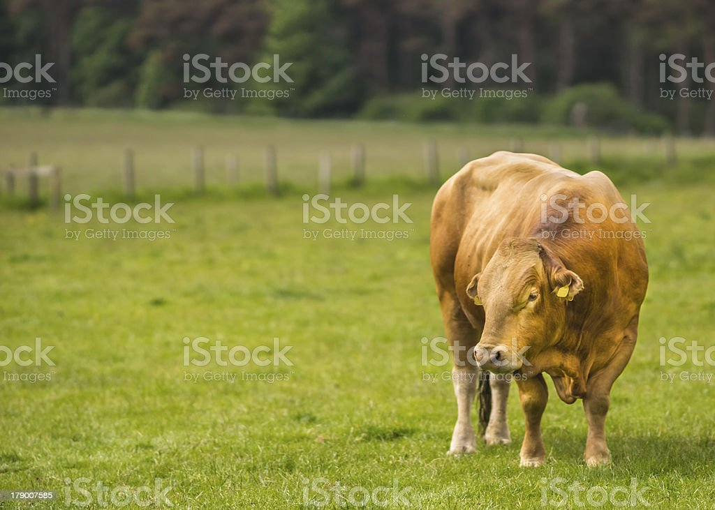 Limousine Bull royalty-free stock photo