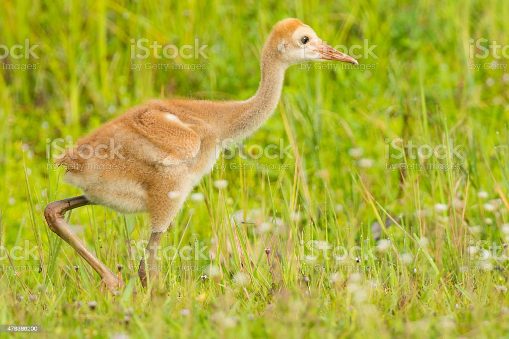 Limpkin Chick stock photo