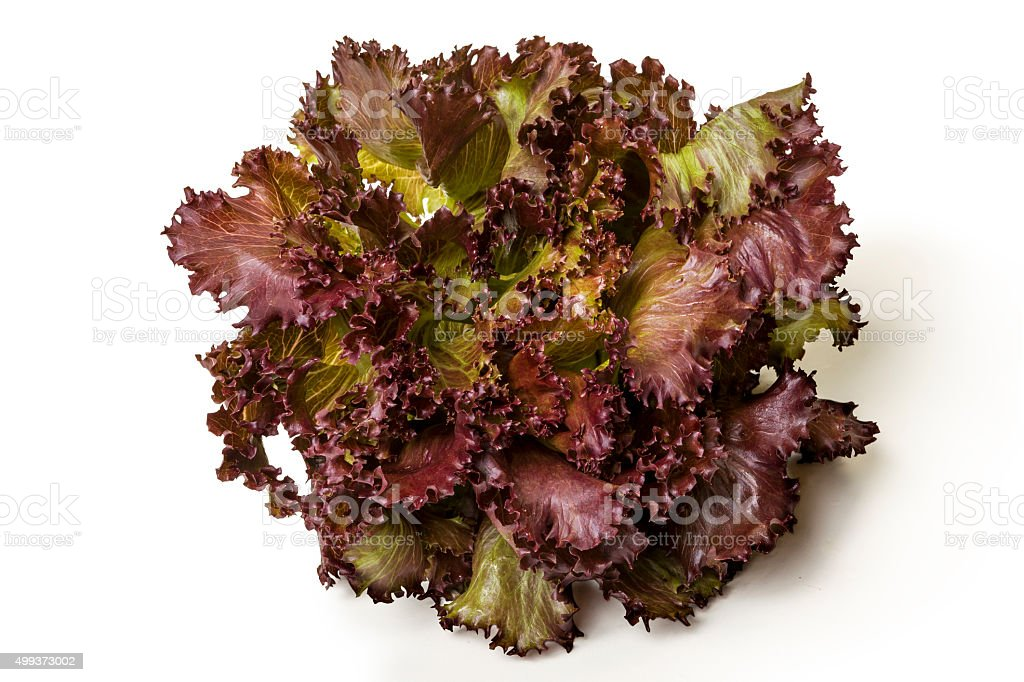 Linda Alface crespa roxa fresca stock photo