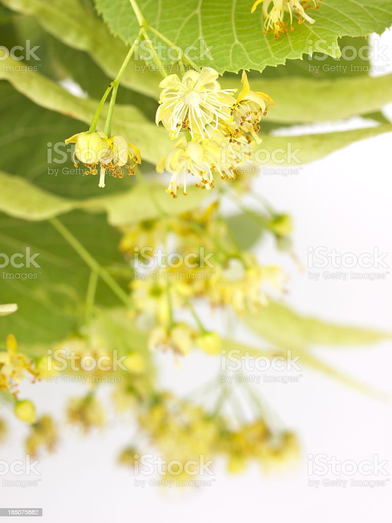 Linden blossom stock photo