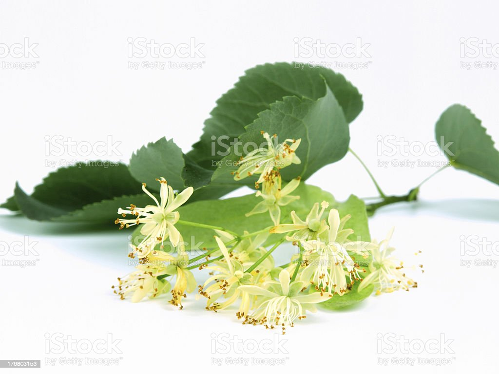 Linden Blossoms royalty-free stock photo