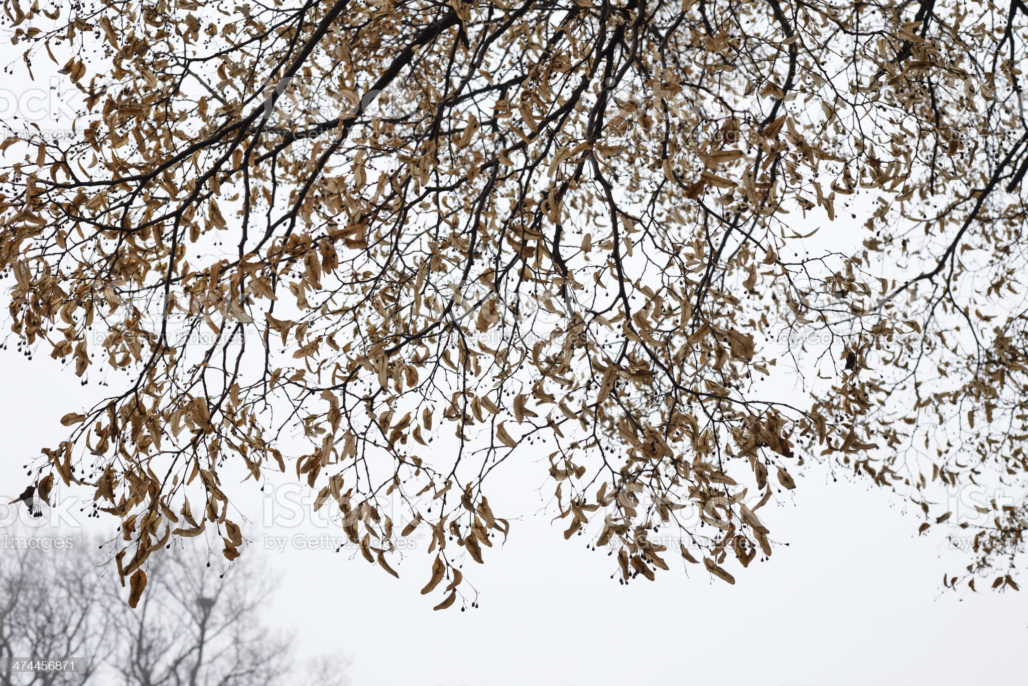linden branches in late autumn royalty-free stock photo