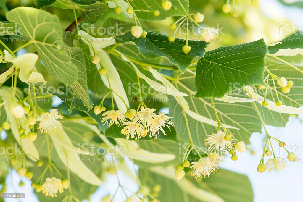 Linden flower on the tree, alternative natural medicine. stock photo