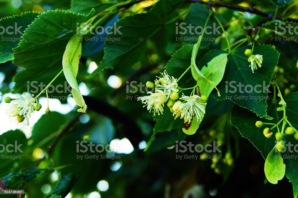 linden, flower stock photo