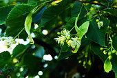 linden, flower