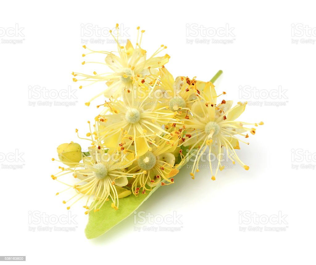 Linden flowers close-up. stock photo