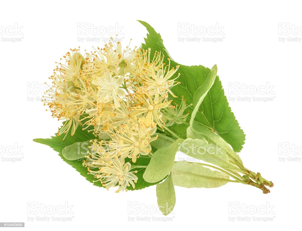 linden flowers isolated on white background. without shadow stock photo