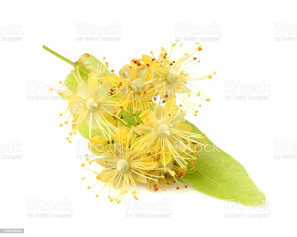 Linden flowers isolated. stock photo