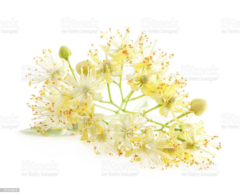 Linden flowers stock photo